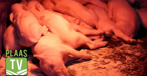 SwiNE Nutrition Management, pig nutritionists, pig feeding programs, SwiNE